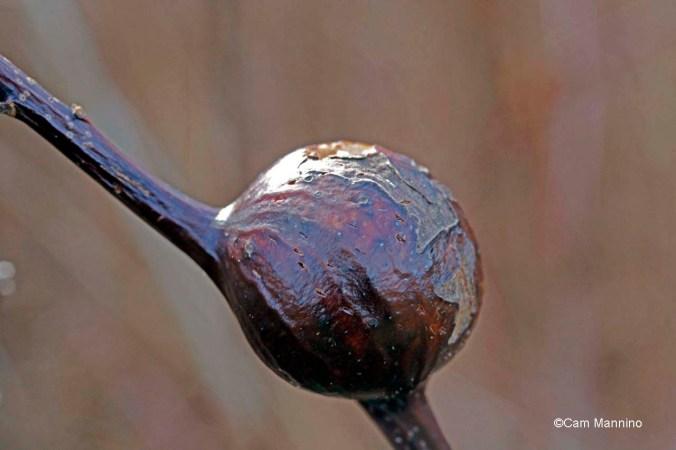 Reddish gall