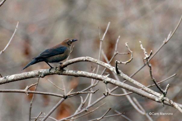 rusty blackbird female closeup