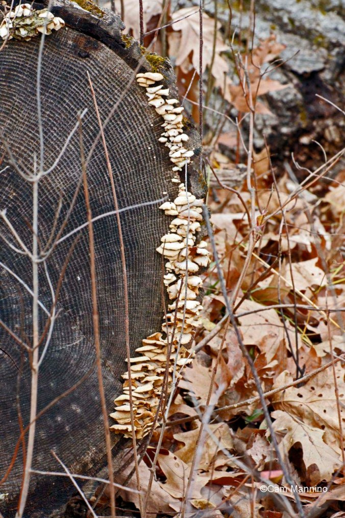Shelf fungi (polypores)