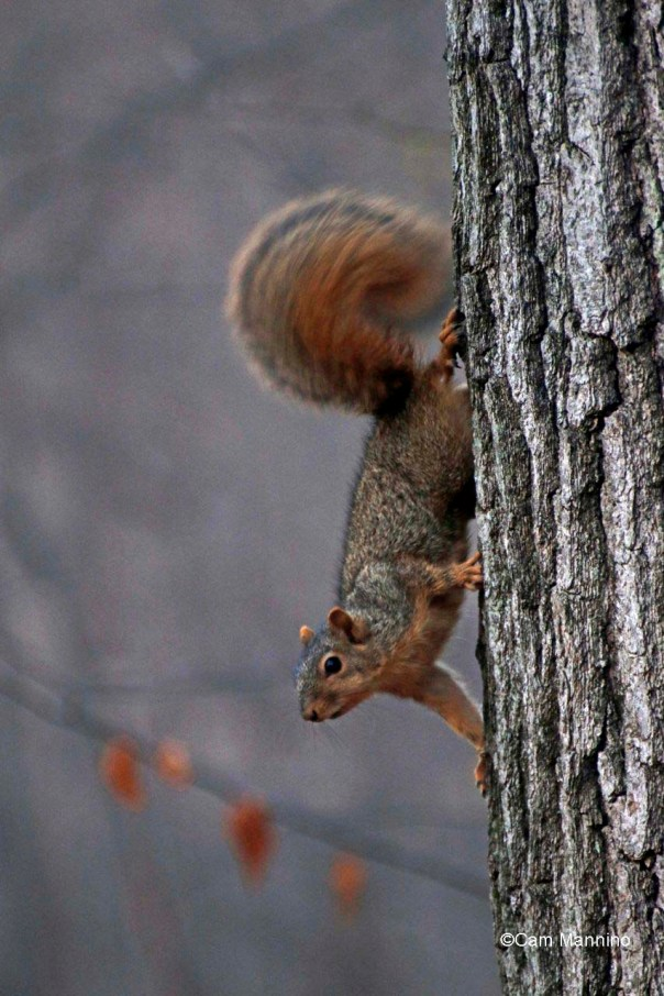 Squirrel with moving tail