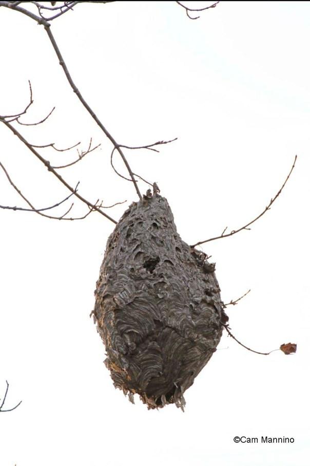 wasp nest in autumn