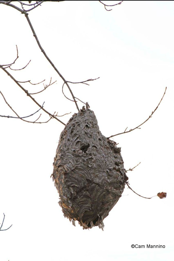 wasp nest in autumn