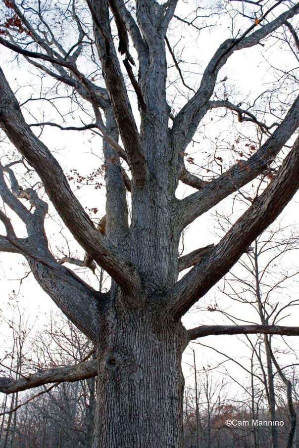 white oak at center pond