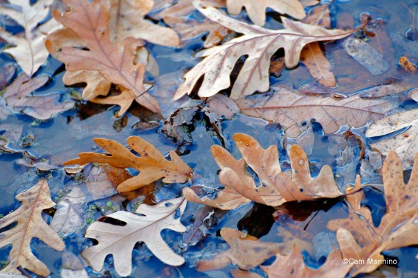 White oak leaves in the pond