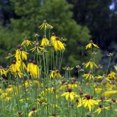 Yellow Cone Flower is a perennial native wildflower.