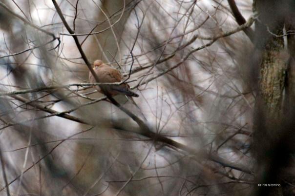 Dove in park3