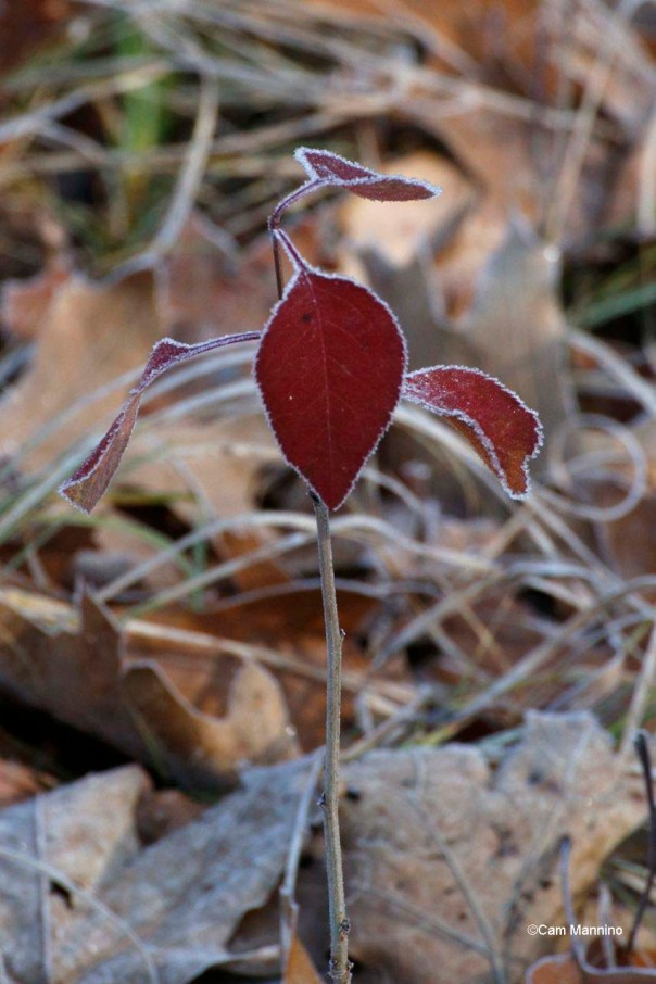 Frosted Red Leaf