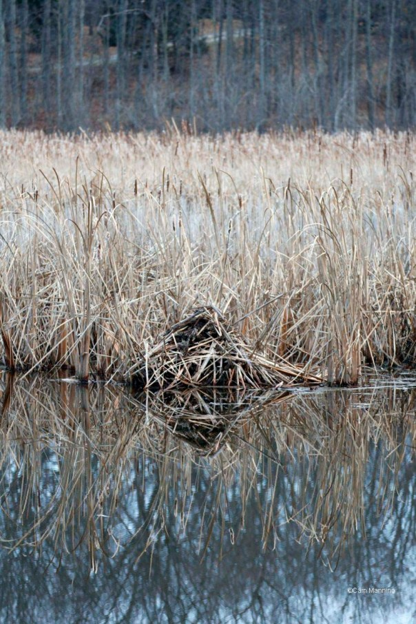 Muskrat feeding platform in marsh