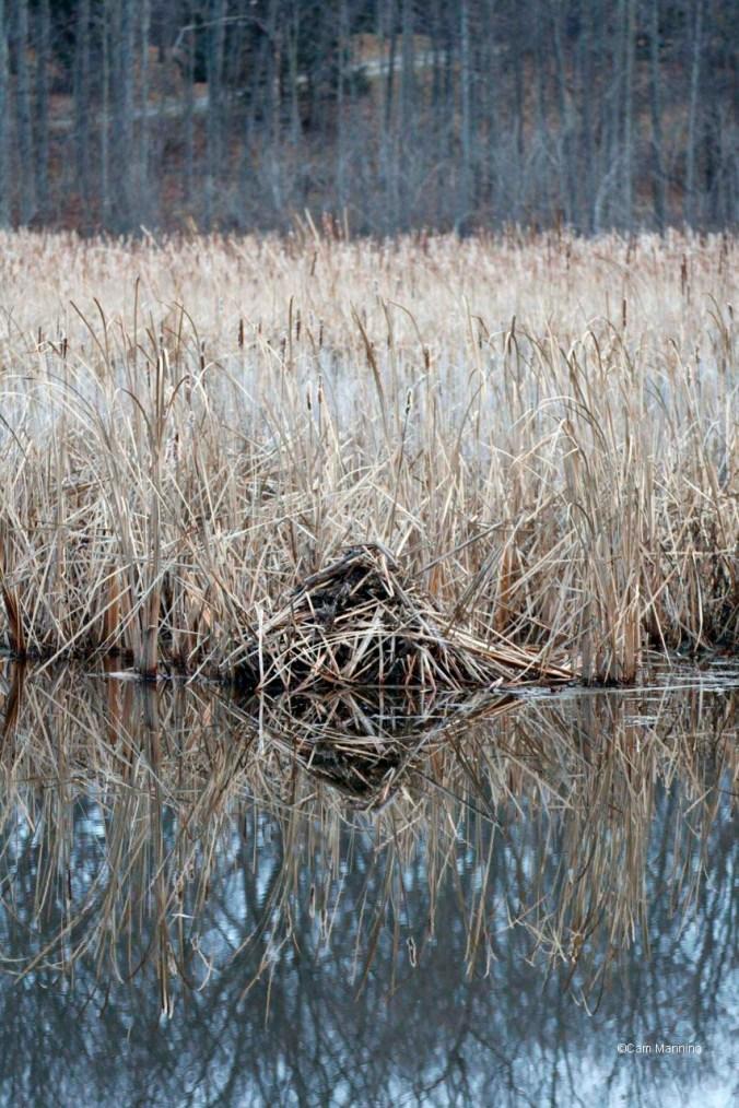 Muskrat feeding platform in marsh