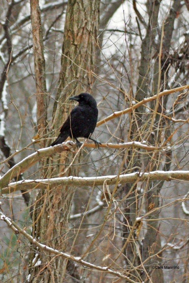 perching crow cool feet14