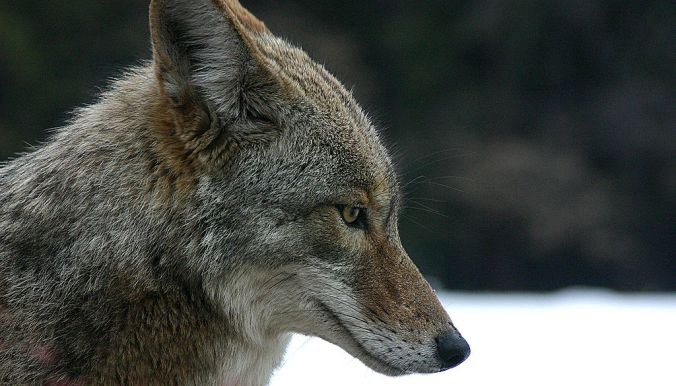 A coyote at Yosemite National Park, California. By Christopher Bruno [GFDL (http://www.gnu.org/copyleft/fdl.html), CC-BY-SA-3.0 (http://creativecommons.org/licenses/by-sa/3.0/) or CC BY-SA 2.5-2.0-1.0 (http://creativecommons.org/licenses/by-sa/2.5-2.0-1.0)], via Wikimedia Commons