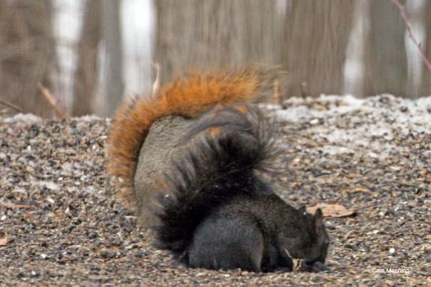 Black morph of a Gray Squirrel