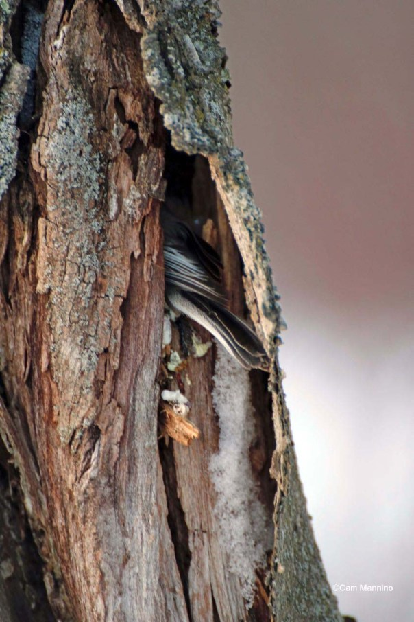 Chickadee in hole for the night.jpg