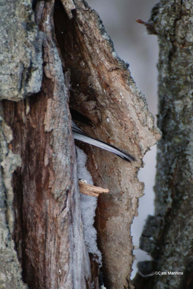 A closer look at the chickadee's tail coming out of its night-time hole