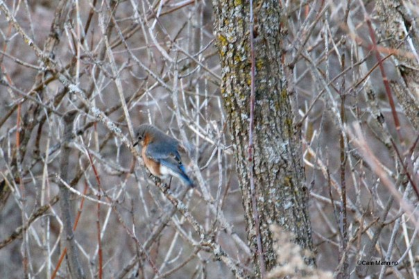 Female bluebird - note gray head