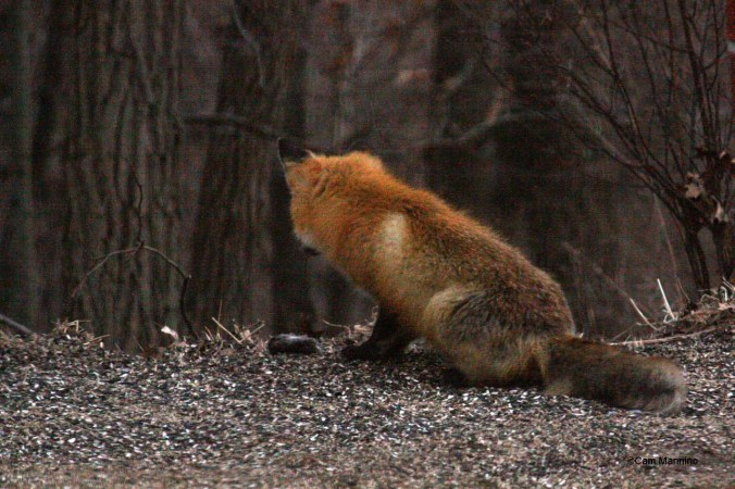 red fox1 with mole