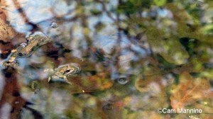 frog and reflections2
