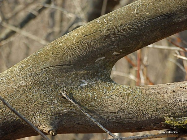 insect tunnels on tree branch