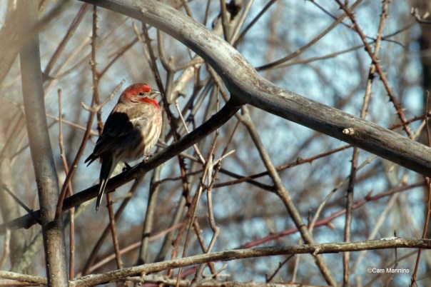 House finch BC