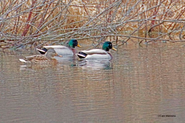 Mallard in Center Pond2