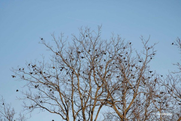 Over 200 starlings in tree