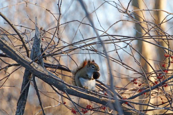 Red squirrel w nut