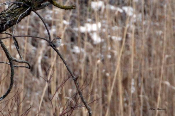Tree sparrow in the marsh
