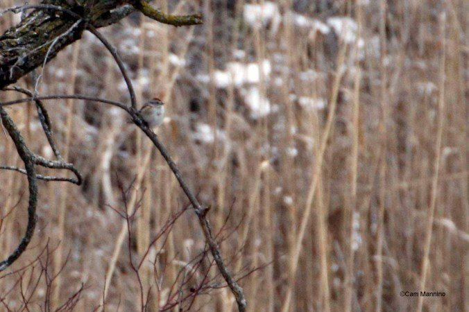 Tree sparrow in the marsh