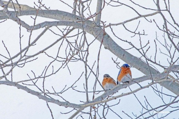 Two bluebirds 2