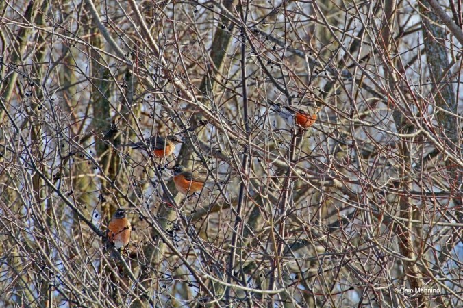 Winter Robins in a tree