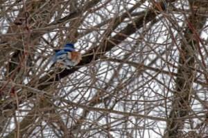 Bluebird in the wind