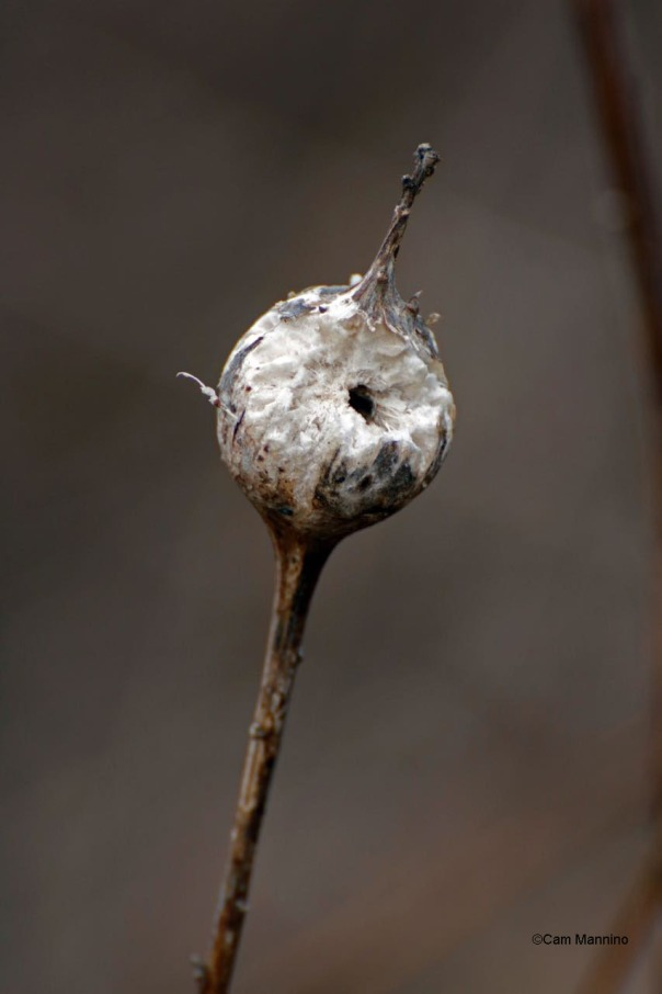 Chewed goldenrod gall
