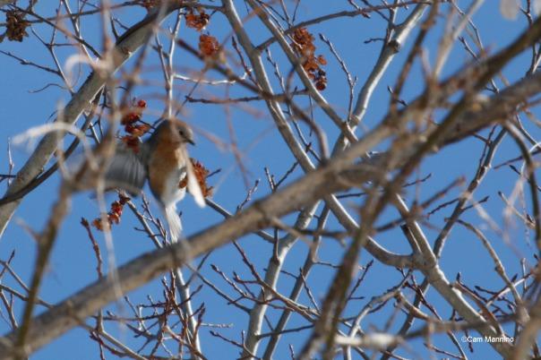 Female Bluebird fluttering along the Walnut Lane