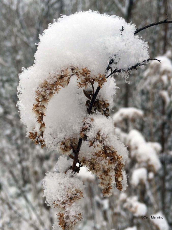 goldenrod in snow