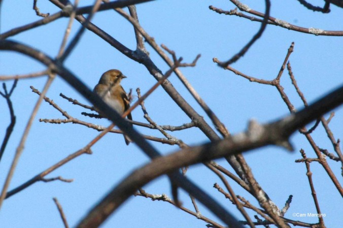 Goldfinch in shadows
