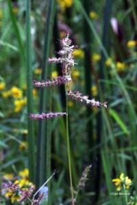Barnyard Grass in marsh2
