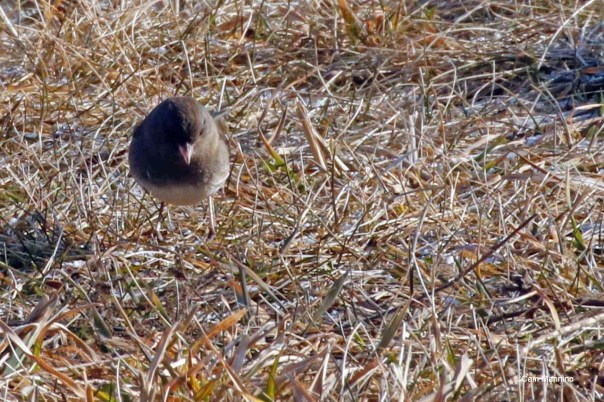 Junco closeup on ground