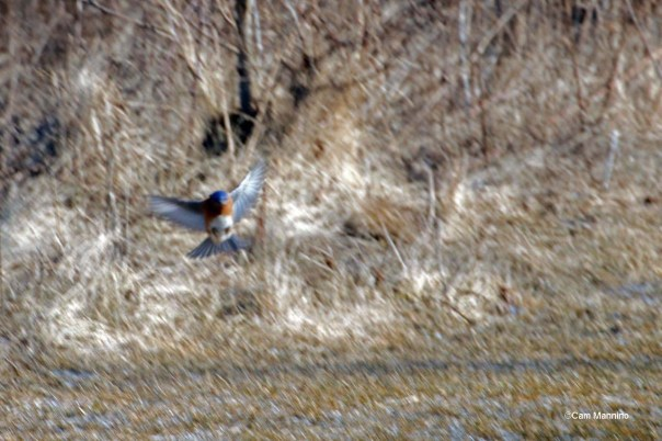 Male Bluebird fluttering down to ground