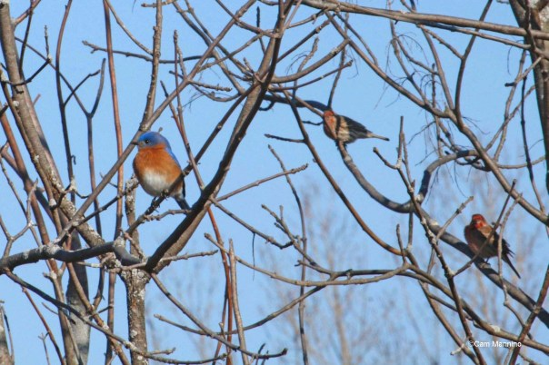 Male bluebird w male house finches_edited-1