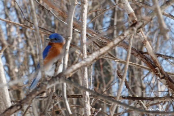 Mr. Bluebird2