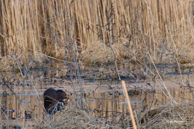 Muskrat feeding Feb 1