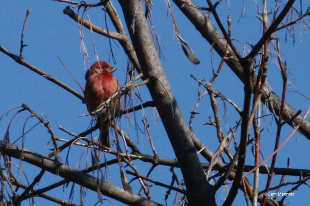 Purple finch?