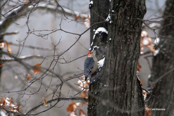 Red-bellied woodpecker in tree2
