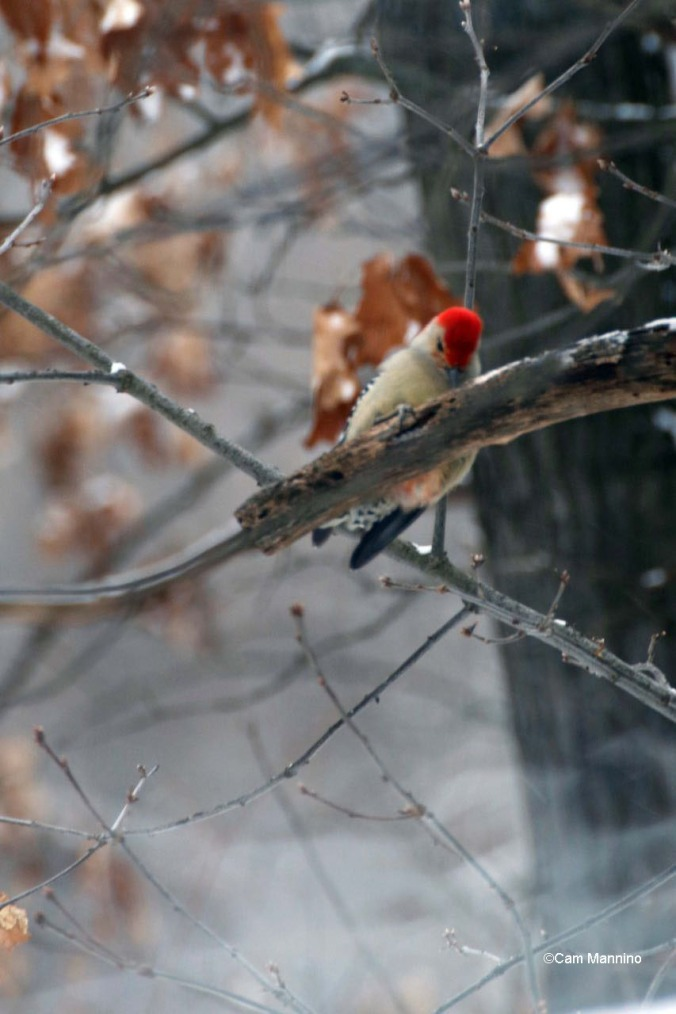Red-bellied woodpecker pecking