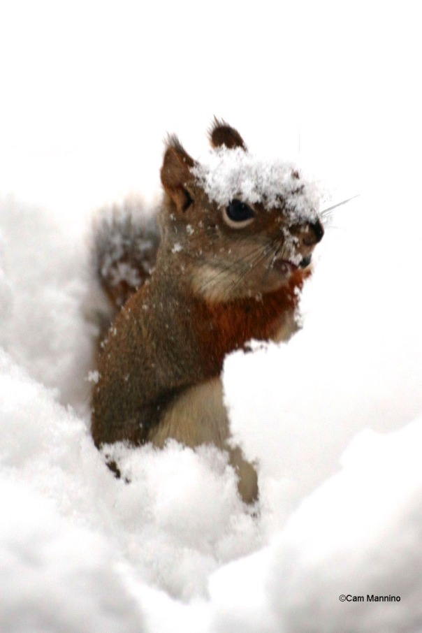 red squirrel in snow american red squirrel natural areas notebook