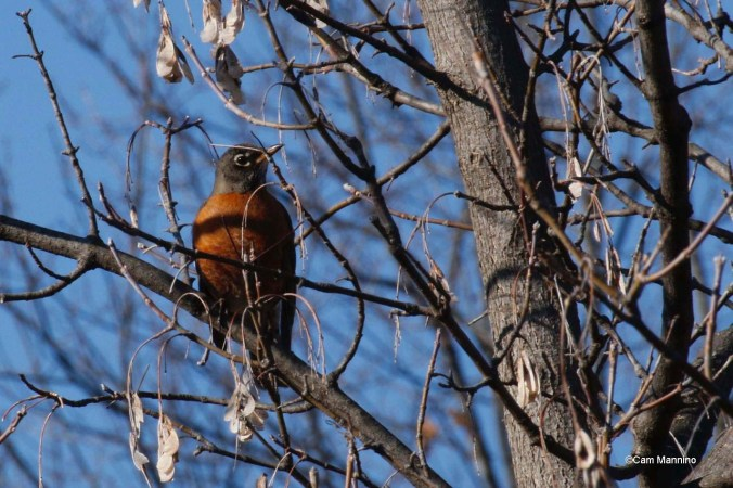 Robin in Box Elder female?