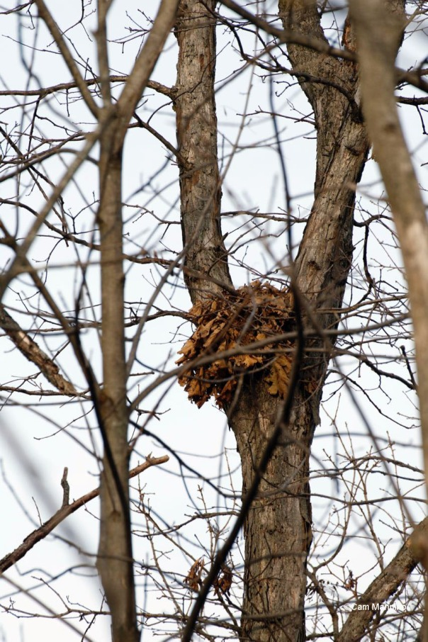 Squirrel nest1