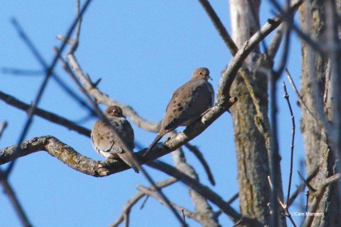 Two doves near wetland