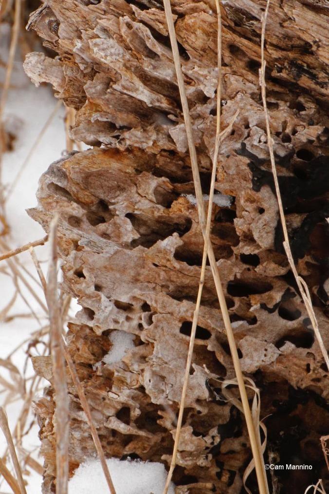 Closeup carpenter ant galleries