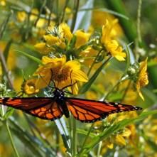 Monarch on native Beggar-tick